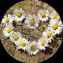 Profile picture of daisychain